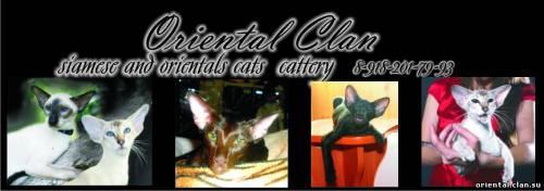 Oriental Cat Mara Patri Sahmet